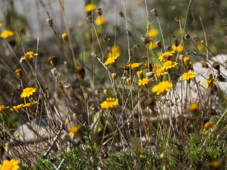 Dandelion Herb Yellow #104710