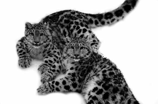 Fur Leopard Feline #104775