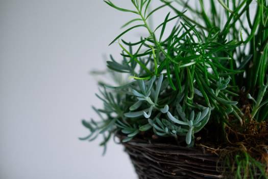 Plant Leaf Herb #10508