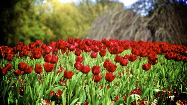 Tulip Spring Tulips #105211