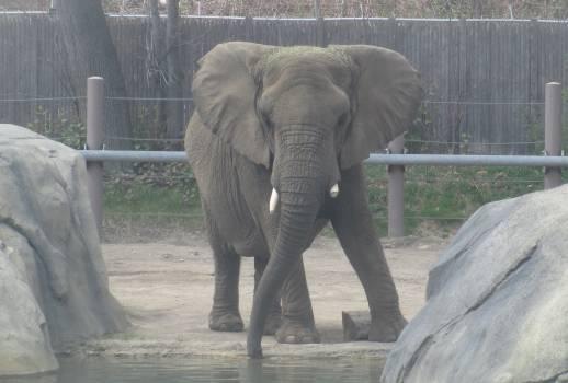 Elephant African elephant Proboscidean Free Photo