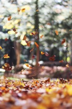 Autumn Maple Leaves #10546