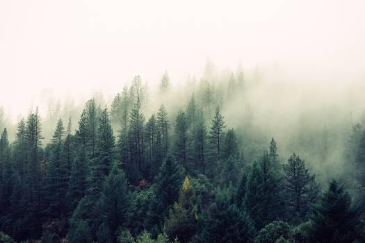 Fir Tree Pine #10558