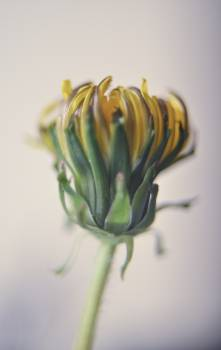 Vegetable Artichoke Flower #105869