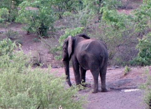 Mammal Elephant Tusker #105950