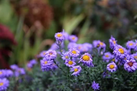 Flower Purple Plant Free Photo