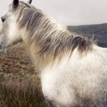 Goat Grey Animal Free Photo
