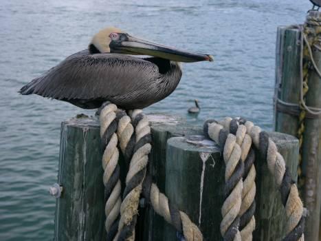 Pelican Pelecaniform seabird Seabird Free Photo