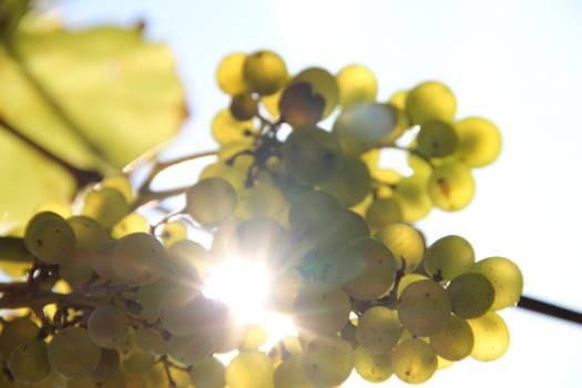 Grape Vineyard Grapes Free Photo