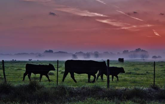 Ranch Farm Cattle Free Photo