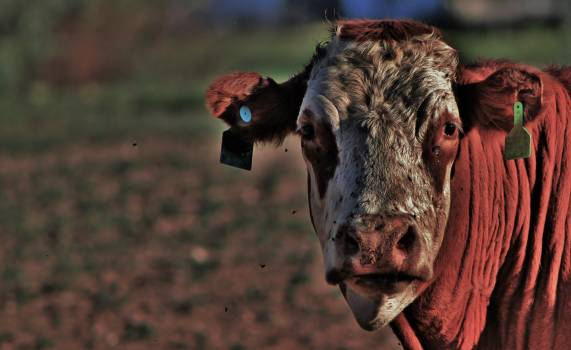 Cattle Cow Farm Free Photo