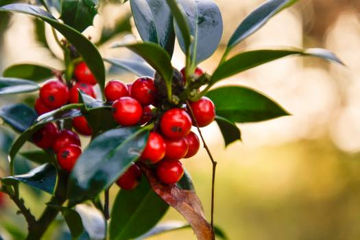 Holly Berry Fruit Free Photo