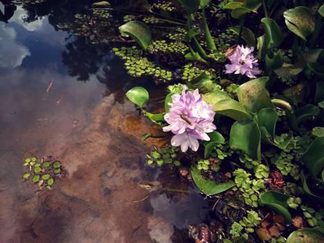 Plant Aquatic Flower #107035