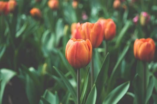 Tulip Plant Tulips #10716