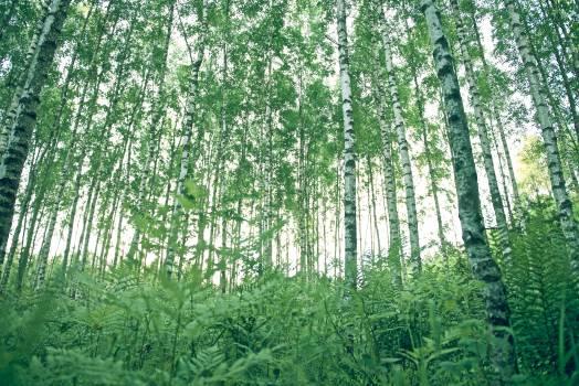 Tree Plant Bamboo #10743