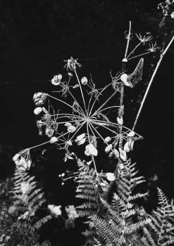 Cow parsley Herb Vascular plant Free Photo