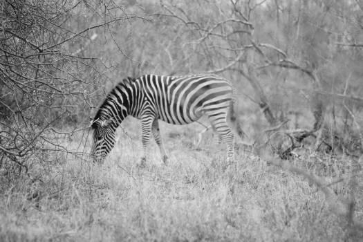 Equine Zebra Ungulate #107928