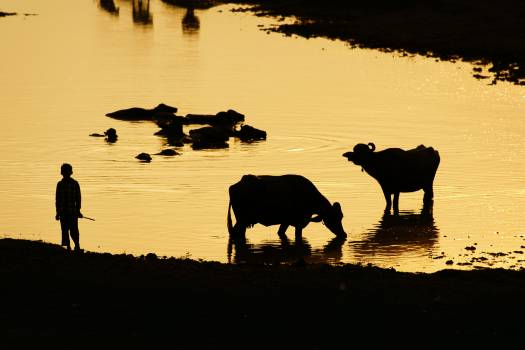 Cattle Ranch Cow Free Photo