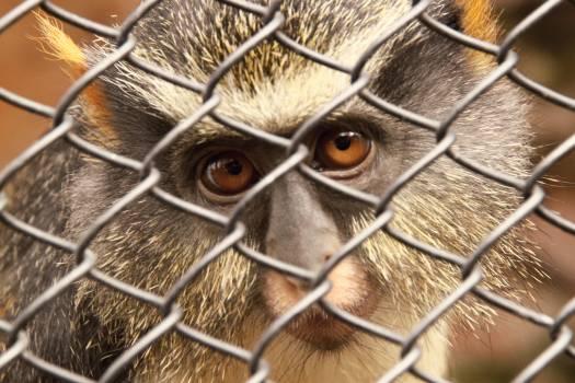 Guenon Monkey Primate #108442