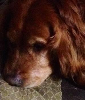 Irish setter Setter Sporting dog #108480