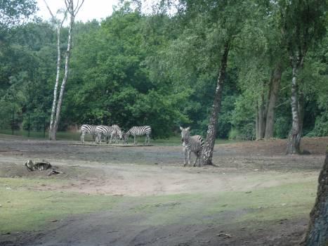 Zebra Wilderness Tree Free Photo