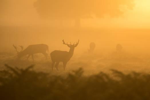 Deer Antelope Bovid #10874