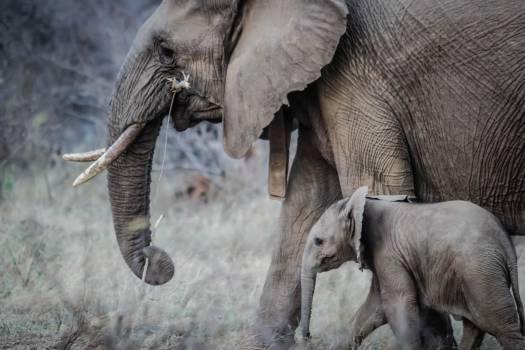 Elephant Mammal African elephant #10900