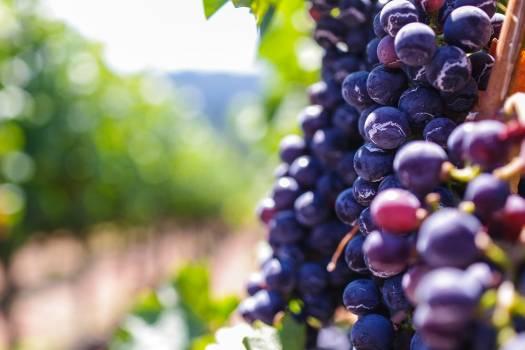 Grape Fruit Wine Free Photo