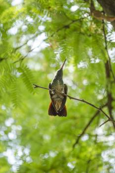 Hummingbird Bird Insect Free Photo