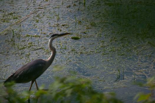 Little blue heron Heron Wading bird #109369