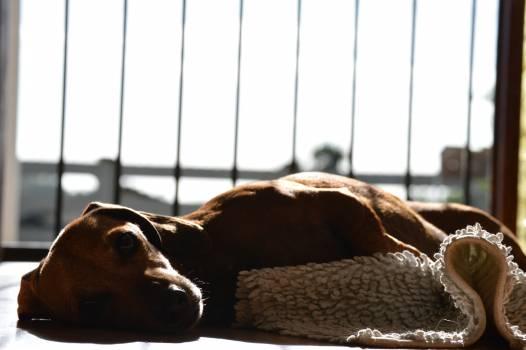 Dog Hound Head Free Photo