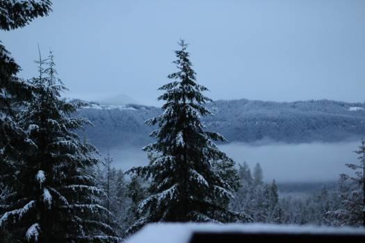 Fir Pine Tree Free Photo