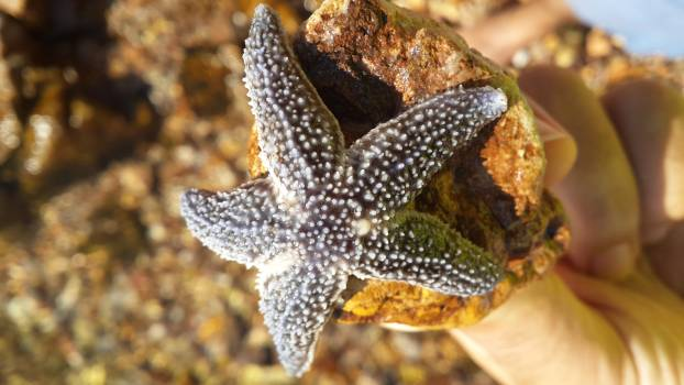 Starfish Echinoderm Invertebrate Free Photo