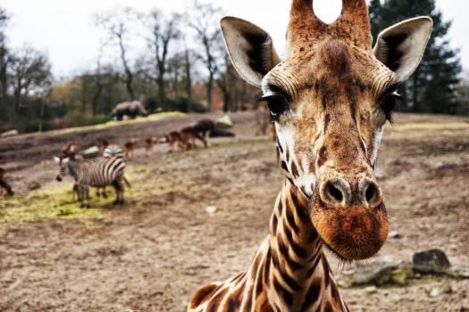 Giraffe Africa Animal #11009