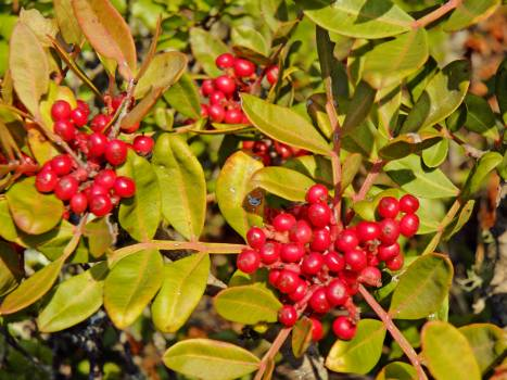 Holly Berry Fruit #110251