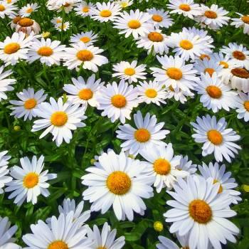 Chamomile Daisy Flower Free Photo