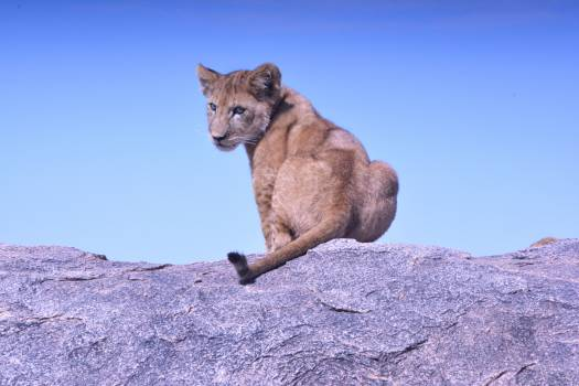 Cougar Wildcat Cat Free Photo