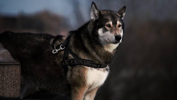 Eskimo dog Dog Canine #11118
