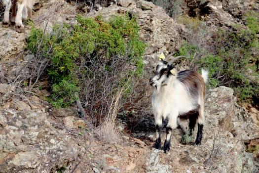 Goat Animal Bighorn Free Photo