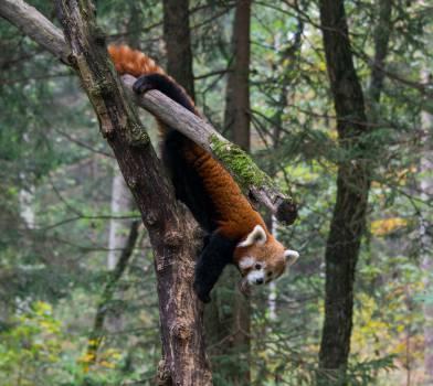 Lesser panda Mammal Monkey #11120