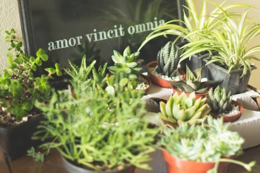 Basil Herb Leaf Free Photo