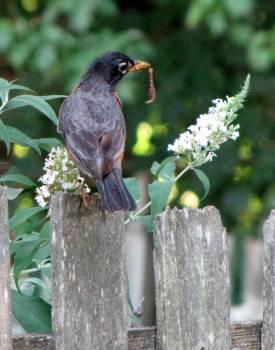 Bulbul Thrush Bird #111490