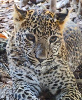 Leopard Fur Feline #111525