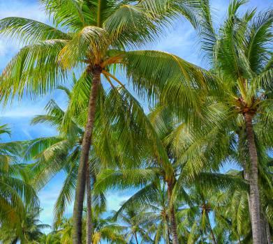 Coconut Palm Tree #11152