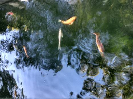 Water Aquatic Goldfish Free Photo