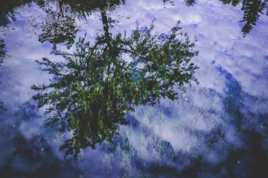 Tree Fir Pine #11241