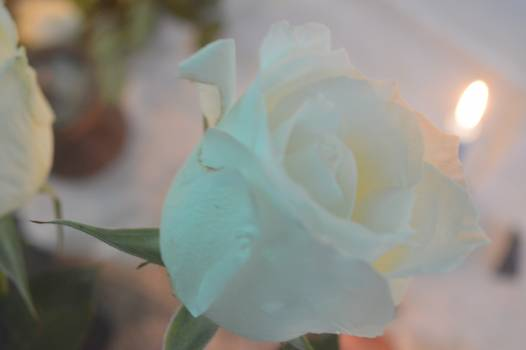 Flower Petal Rose Free Photo