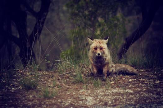 Canine Dhole Wild dog #11257