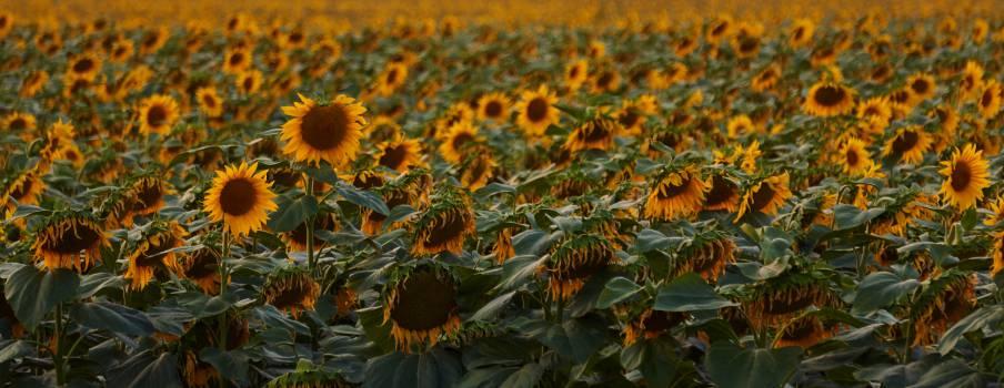 Flower Sunflower Spring #11263