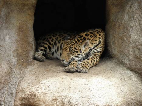 Jaguar Big cat Feline #113142